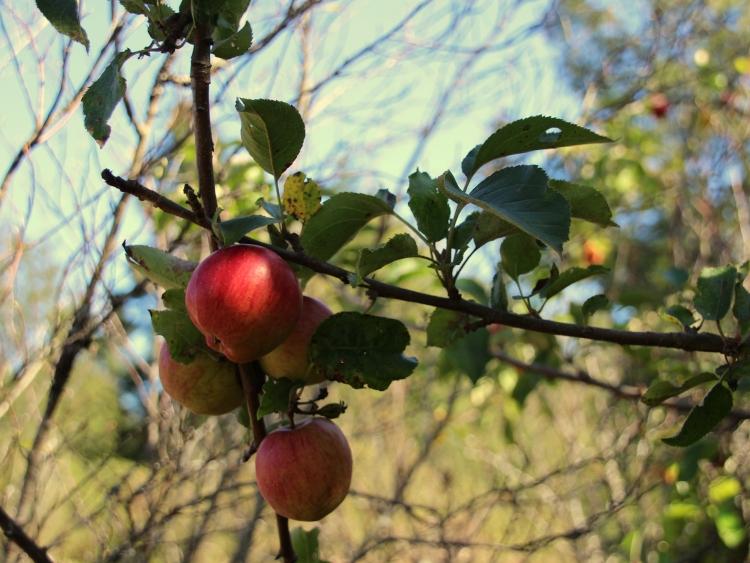 washington-apples