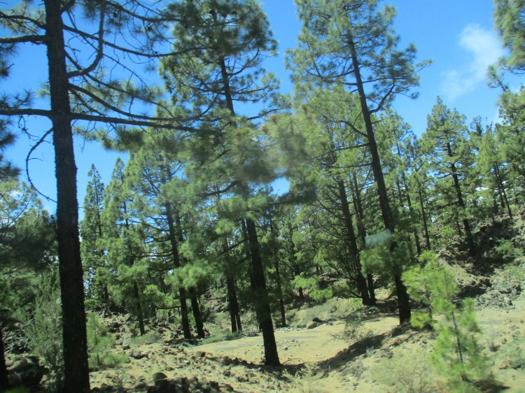 trees of el Teide